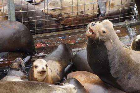 pinniped: California sea lion barking to claim territory on a crowded wharf,  (Zalophus californianus) , Newport Bay Harbor,Oregon coast Stock Photo