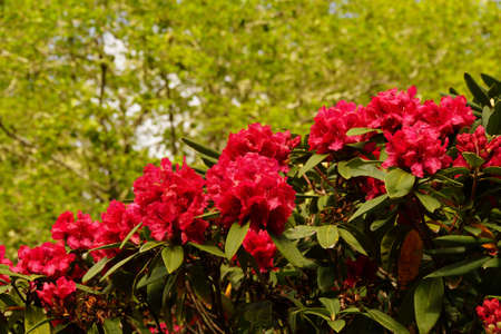Bright red rhododendron flowers, spring on the  Oregon Coast Banco de Imagens