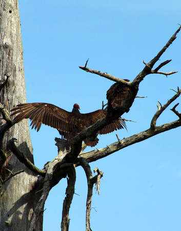 snag: Turkey vulture on conifer snag, spreading its wings, Otter Crest,  Oregon Coast Stock Photo