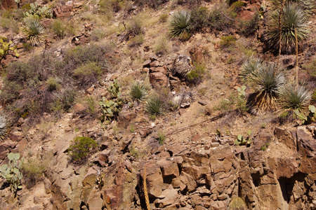 century plant: Century plant (Agave americana) on hillside,  with sabra, opuntia and other cacti,  Salt River Canyon, Arizona Stock Photo