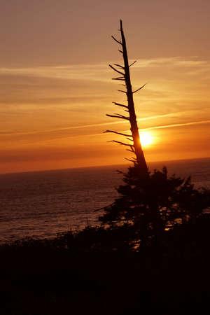 cicuta: Coníferas enganchar al atardecer en la costa de Oregon