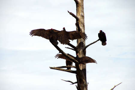 Turkey vulture on conifer snag, spreading its wings, Otter Crest,  Oregon Coast Stock Photo
