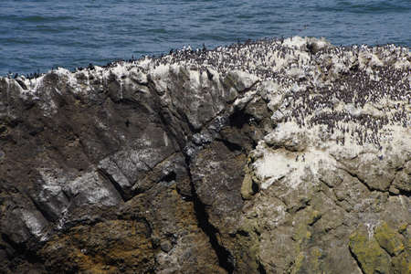 cobble: Common Murres ( Uria aalge ) and pelagic cormorant (Phalacrocorax pelagicus), nesting on sea stack,  Cobble Beach, Yaquina Head,  Oregon Coast