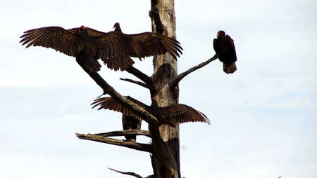 turkey vulture: Turkey vulture on conifer snag, spreading its wings, Otter Crest,  Oregon Coast Stock Photo