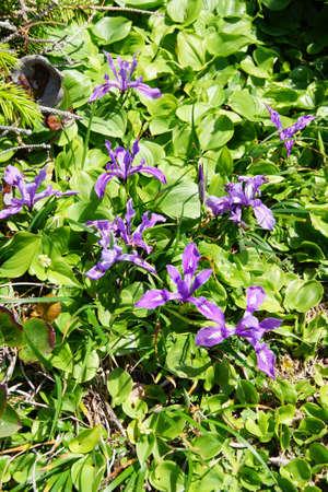 hillsides: Blue iris blooms on coastal hillsides,  Cape Perpetua,  Oregon Coast