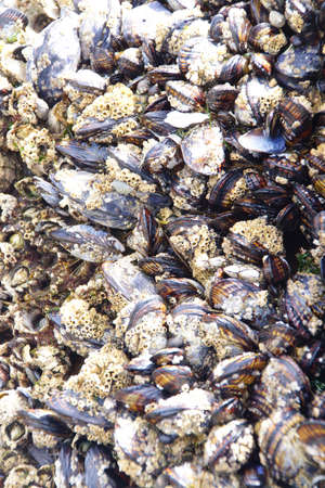 packed: Tightly packed mussels and barnacles,  Seal Rocks,  Oregon Coast