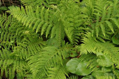 ferns: Green ferns in coastal forest,  Oregon Coast