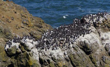 shorebird: Common Murres ( Uria aalge ) and pelagic cormorant (Phalacrocorax pelagicus), nesting on sea stack,  Cobble Beach, Yaquina Head,  Oregon Coast