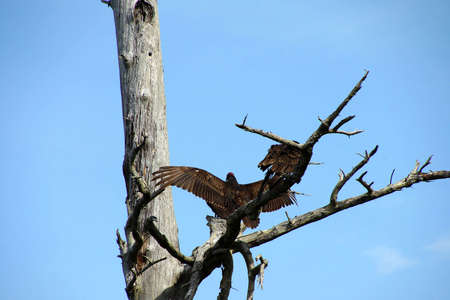 snag: Turkey vulture on conifer snag, spreading its wings, Otter Crest,  Oregon Coast Stock Photo
