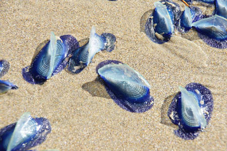 Blue jellyfish ( Velella velella ) stranded on beach,  Otter Crest, Oregon Coast