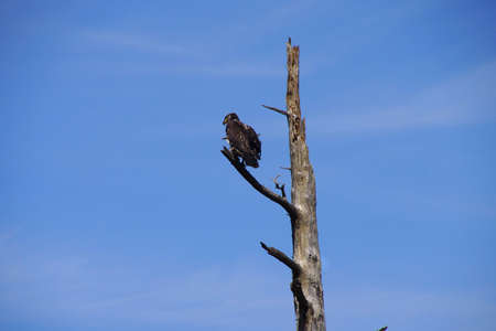 snag: Golden eagle perched on a conifer snag,Otter Crest,  Oregon Coast Stock Photo