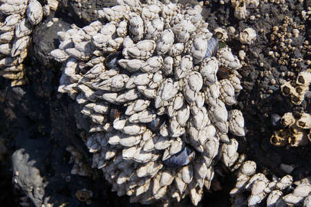 cobble: Gooseneck barnacles  ( Pollicipes polymerus )  Cobble Beach, Yaquina Head,  Oregon Coast