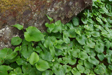 groundcover: Thick groundcover of false lily of the valley ( Maianthemum dilatatum ) , aka snakeberry, or  two-leaved Solomons seal  Otter Crest,   Oregon Coast Stock Photo