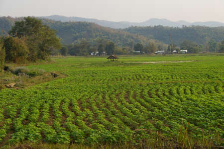 irrigated: Soybeans growing in irrigated paddies,  Hsipaw,  Myanmar (Burma)