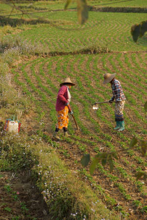 paddies: Women tend their crops in irrigated paddies,  Hsipaw,  Myanmar (Burma) Stock Photo