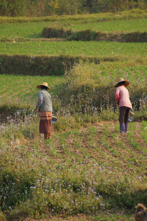 tend: Women tend their crops in irrigated paddies,  Hsipaw,  Myanmar (Burma) Stock Photo