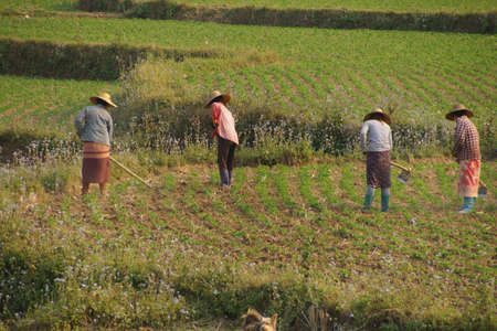irrigated: Women tend their crops in irrigated paddies,  Hsipaw,  Myanmar (Burma) Stock Photo