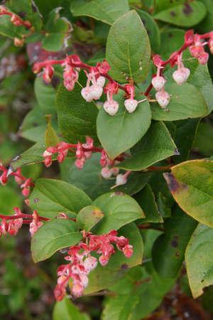 Salal (シラタマノキ shallon) の白い花をピンク カワウソ クレスト、オレゴン州の海岸