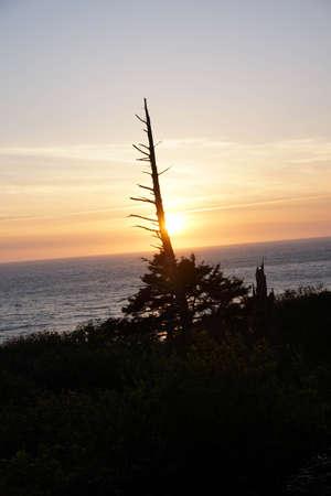 conifer: Conifer snag at sunset on the  Oregon Coast