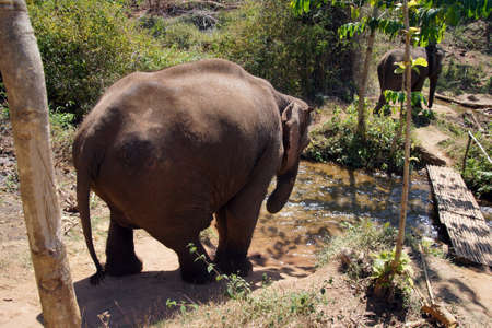 pachyderm: Female elephant walking to the stream for her daily bath,  Myanmar (Burma) Stock Photo
