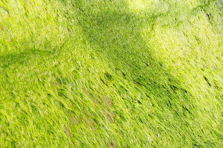 Neon green algae grows on boulders on the beach,  Otter Crest, Oregon Coast photo