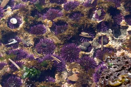 echinoderm: Purple sea urchins colonize naturally formed holes in tidepool rocks,  ( Strongylocentrotus purpuratus ),  Cobble Beach, Yaquina Head,  Oregon Coast