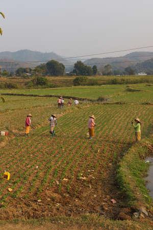 to tend: Women tend their crops in irrigated paddies,  Hsipaw,  Myanmar (Burma) Editorial