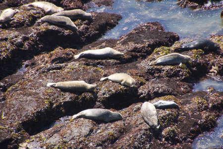 pinniped: Harbor seals ( Phoca vitulina ), hauled out on rocky bench,  Cobble Beach, Yaquina Head,  Oregon Coast