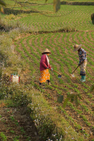 to tend: Women tend their crops in irrigated paddies,  Hsipaw,  Myanmar (Burma) Stock Photo
