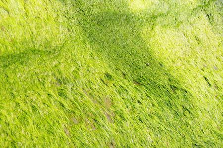 boulders: Neon green algae grows on boulders on the beach,  Otter Crest, Oregon Coast