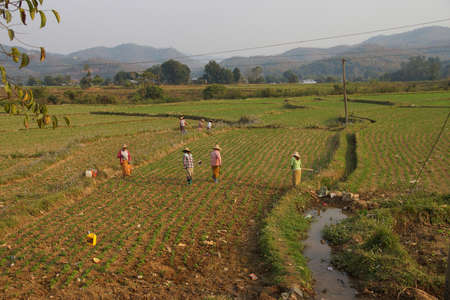 irrigated: Women tend their crops in irrigated paddies,  Hsipaw,  Myanmar (Burma) Editorial