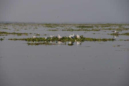 inle: Seagulls rest on floating water hyacinth,  Inle Lake,  Myanmar (Burma)