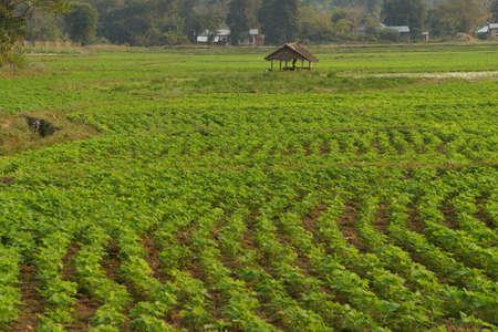 paddies: Soybeans growing in irrigated paddies,  Hsipaw,  Myanmar (Burma)