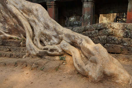 huge tree: Stone terrace engulfed by huge tree roots, Ta Prohm,  Cambodia