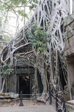 invasive: Tree roots overwhelm ancient temple walls, Ta Prohm,  Cambodia