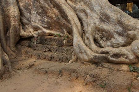 Stone terrace engulfed by huge tree roots, Ta Prohm,  Cambodia
