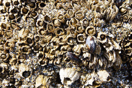 tightly: Tightly packed mussels and barnacles,  Seal Rocks,  Oregon Coast