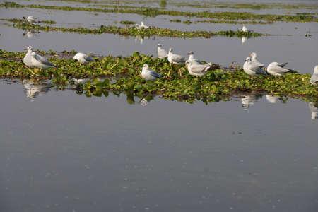 floating on water: Seagulls rest on floating water hyacinth,  Inle Lake,  Myanmar (Burma)