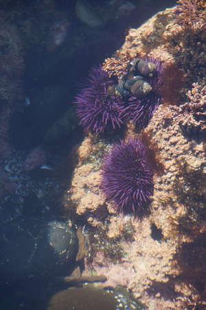 echinoderm: Purple sea urchins in tidepool, ( Strongylocentrotus purpuratus ),  Cobble Beach, Yaquina Head,  Oregon Coast Stock Photo