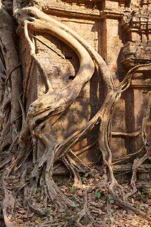 strangle: Fig strangling temple, Sambor Pre Kuk, Kampong Thom,  Cambodia