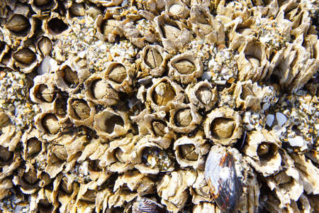 Tightly packed mussels and barnacles,  Seal Rocks,  Oregon Coast
