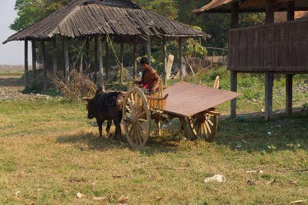 weekly market: INLE LAKE, MYANMAR - MAR 1, 2015 - Young man drives his ox cart from the weekly market ,  Inle Lake,  Myanmar (Burma)