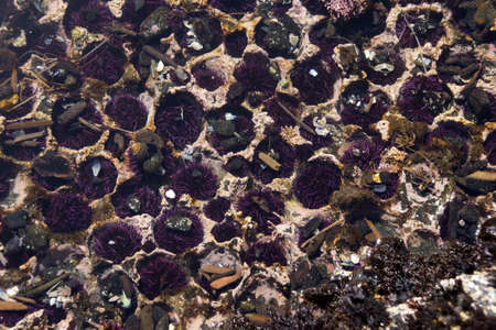 echinoderm: Purple sea urchins colonize naturally formed holes in tidepool rocks,  ( Strongylocentrotus purpuratus ),  Cobble Beach, Yaquina Head,  Oregon Coast