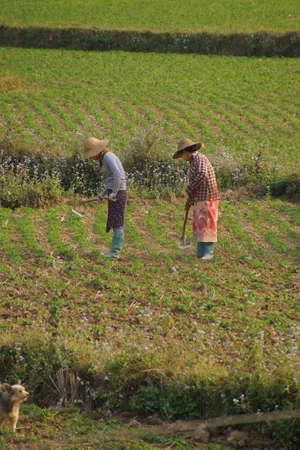 paddies: Women tend their crops in irrigated paddies,  Hsipaw,  Myanmar (Burma) Editorial
