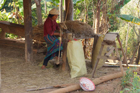 fodder: KYAUKME, MYANMAR - FEB 22, 2015 - Shan women shredding straw for fodder, Kyaukme Myanmar (Burma)