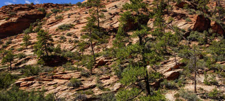 cliff face: Steep mountain cliff  face and  conifers of Zion National Park, Utah