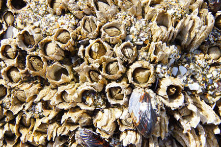 barnacles: Tightly packed mussels and barnacles,  Seal Rocks,  Oregon Coast