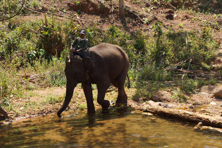 mahout: KALAW, BURMA - FEB 27, 2015 - Mahout brings his elephant to the river for  her daily bath,  Elephant conservation camp near Kalaw Myanmar (Burma)