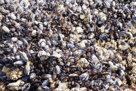 marine crustaceans: Tightly packed mussels and barnacles,  Seal Rocks,  Oregon Coast