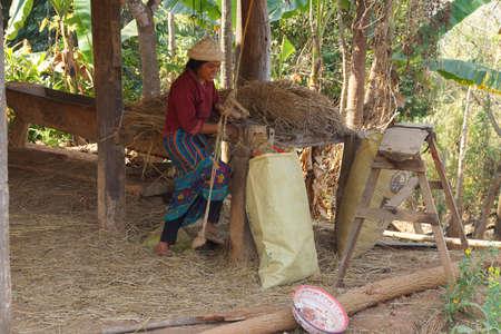 shredding: KYAUKME, MYANMAR - FEB 22, 2015 - Shan women shredding straw for fodder, Kyaukme Myanmar (Burma)